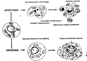 Cellular differences between 2 major cell death pathways